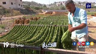 قرية يعبد في جنين تشتهر بزراعة التبغ وإنتاج السجائر - (2-9-2017)