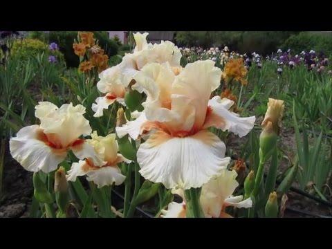 Калла Белая Растение, цветок Уход, выращивание