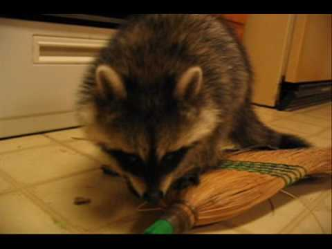 Fat Raccoon vs Kitchen Broom
