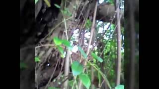 Penemuan sarang lebah madu didalam batang pohon waru