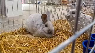 Krajowa wystawa gołębi rasowych i drobnego inwentarza 2018r. Sekcja królików.