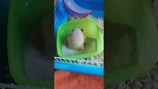 Хомяк купается в песке. Hamster bathing in the sand