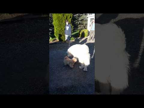 Great Pyrenees meets Coton de Tulear