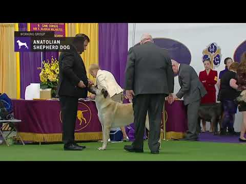 Anatolian Shepherd Dog | Breed Judging (2019)