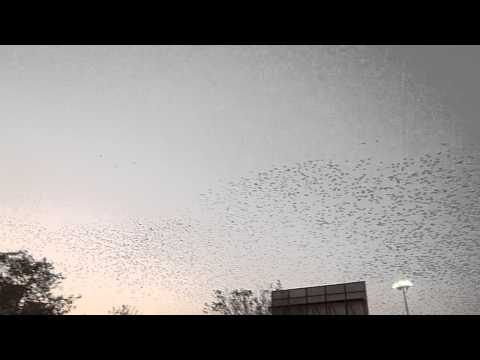 Starling Air Display above Ahmadabad Train Station Gujarat 01