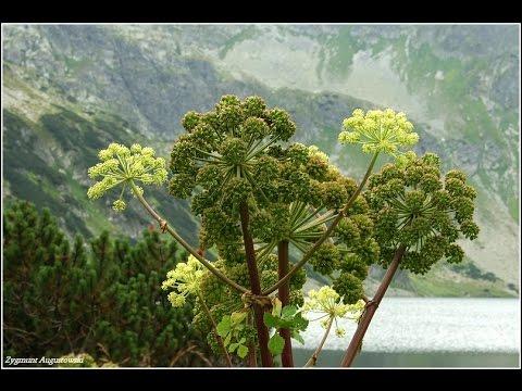 Дудник лекарственный (трава) – полезные свойства и