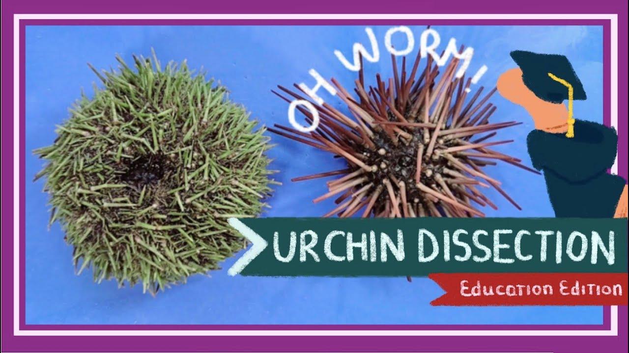 Sea Urchin Dissection || Aristotle's Lantern