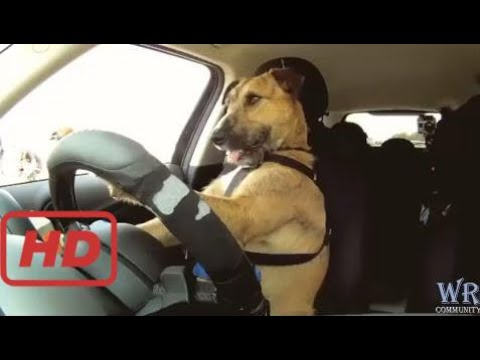 Funny videos cats and dog Funny Animal Compilation - Cats and Dogs Funny Videos - dog driving