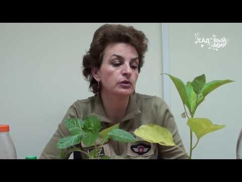 """Почему желтеют листья рассады  Удобрения для рассады. Сайт """"Садовый мир"""""""