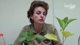 Почему желтеют листья рассады  Удобрения для рассады. Сайт