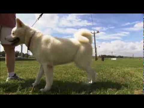 Dogs 101 - Akita