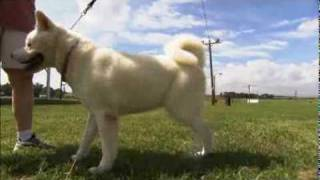 Dogs 101  Akita