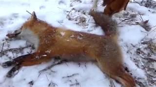 охота на лису с гончими. хотел зайца,а стреляю снова лис
