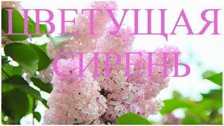 Весна в садах цветет сирень. Цветущая сирень победы.(Приглашаю в гости.мой блог http://lyubovgrosheva.ru/ Принимаю заказы на слайд шоу из Ваших фотографий е-майл: lyubovgrosheva@gma..., 2015-05-07T13:28:31.000Z)