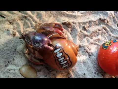 Hermit Crab Changing Shell