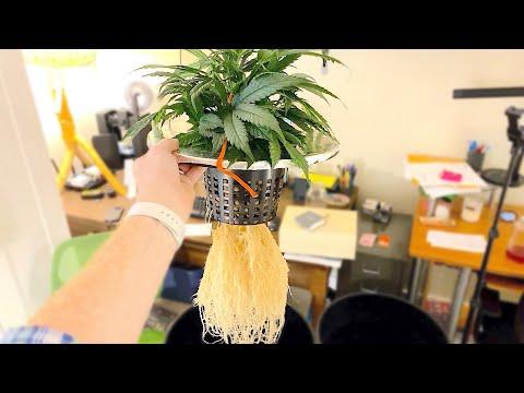 Autoflower Cannabis Plant in DWC – Early Flower (Auto Grow 2)