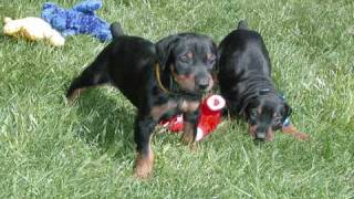 Akc Registered Female Doberman Puppies For Sale, We Can Ship Your Doberman Pinscher Puppy
