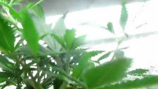4 strain t5 closet grow