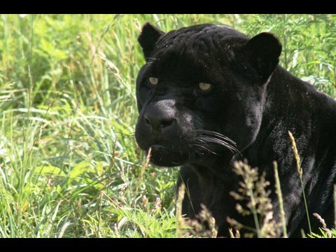 JAGUAR - Species Spotlight - YouTube
