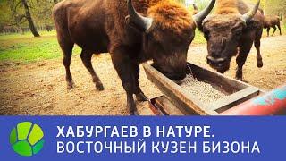 Восточный кузен бизона - Хабургаев в натуре   Живая Планета