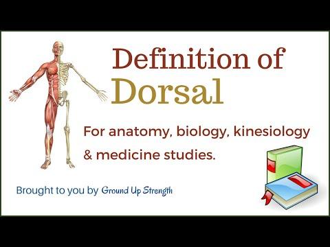 Dorsal Definition (Anatomy, Biology, Medicine, Kinesiology)