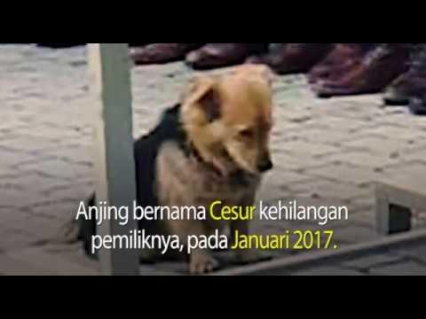 Cesur, Kisah Mengharukan Seekor Anjing