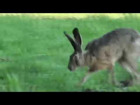 Зайцы в дикой природе. Жизнь зайцев в природе