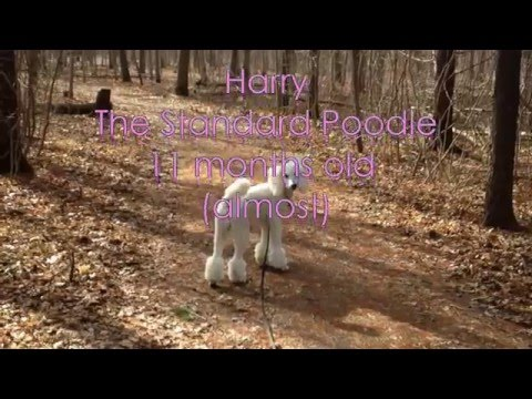Standard Poodle Puppy's Tricks