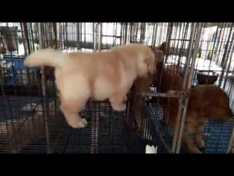 Mumbai pets playhouse Kennel, golden retriever puppies available for sale. Dog puppy