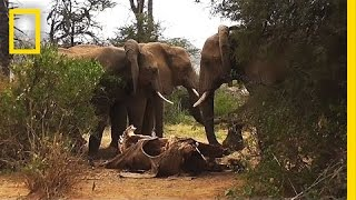 "Rare Footage: Wild Elephants ""Mourn"" Their Dead 