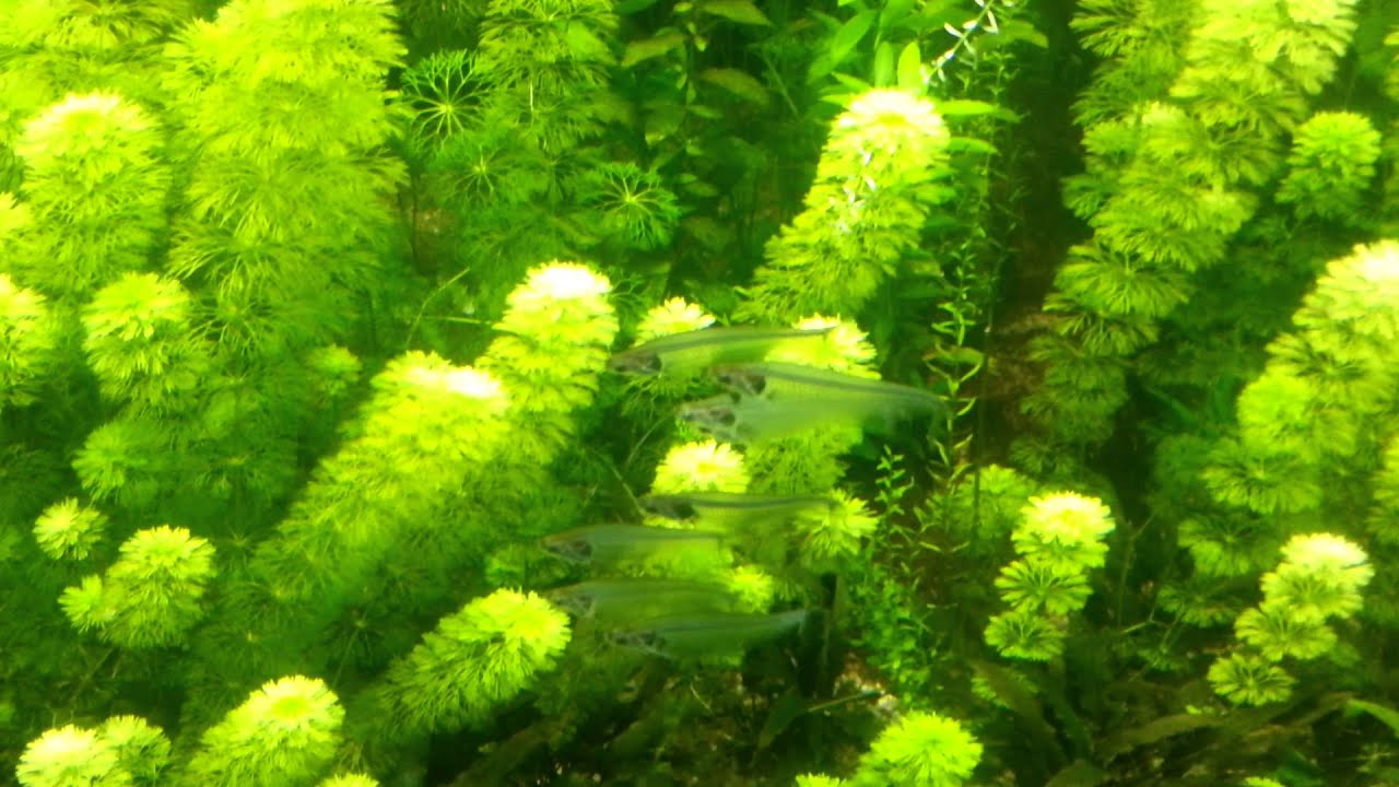 Fish for asian aquarium - Large Planted Aquarium With Several Fish From Asia Like Glass Catfish Barb And Pearl Gourami