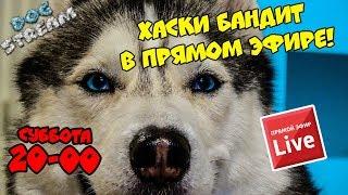 DOGSTREAM: ХАСКИ БАНДИТ в ПРЯМОМ ЭФИРЕ! Говорящая собака