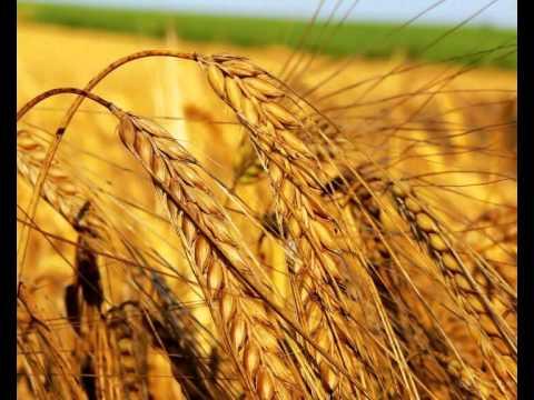 Пшеница и рожь в России