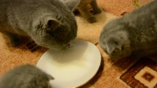 Даю котятам молоко