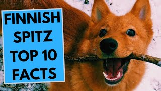 Finnish Spitz  TOP 10 Interesting Facts