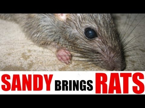 Hurricane Sandy Could Cause Rat Infestations