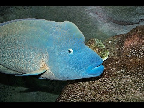 Facts: The Napoleon Fish (Humphead Wrasse)