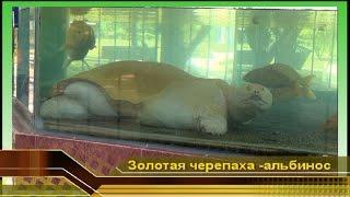 Отдых Вьетнам Нячанг. #6 Большая водная черепаха ТОРТИЛА альбинос единственная долгожитель в мире