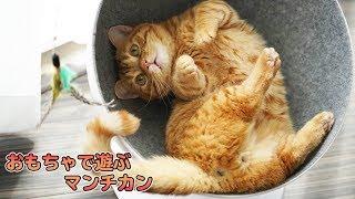 【猫動画】マンチカン こんぺい の 狩猟訓練