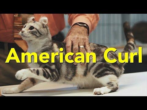 The American Curl at a TICA Cat Show