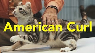 The American Curl at a TICA Cat Show