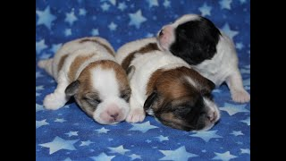 Coton de Tulear Puppies for Sale - Inca 7/6/20