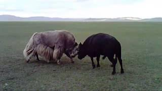 buh tulaan mongolia