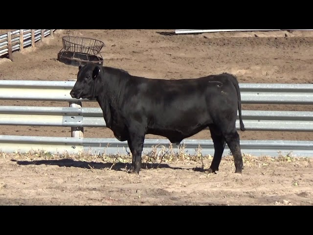 Connealy Angus Lot 56