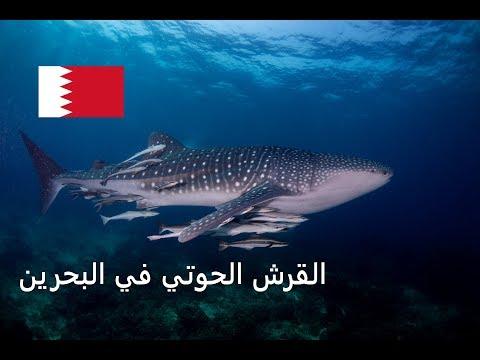 رصد القرش الحوتي في بحر البحرين 🇧🇭  🦈 Whale Shark in Bahrain