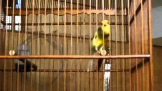 [Sample Kicauan] Kenari F1YS Bon Kuning, New Prospekan [SOLD OUT]