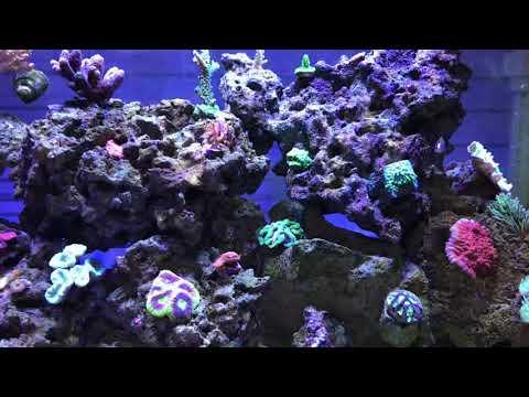 Valentini Puffer Reef Safe?