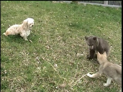 GRIZZLY BEAR CUB tag teamed by Wolf Cub and dog.