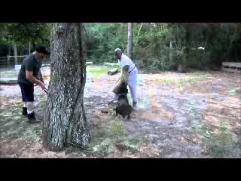 CANE CORSO BITE TRAINING - YouTube