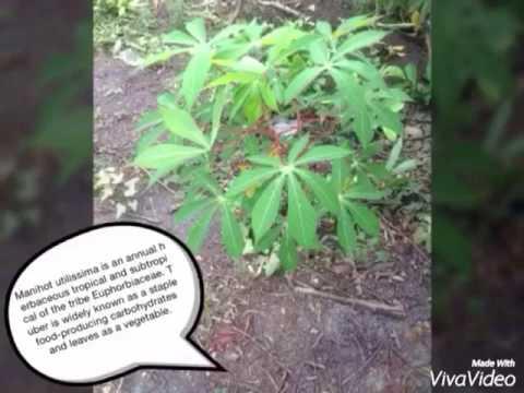 Biology Family Euphorbiaceae
